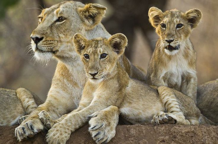 Young lioness found injured on highway near Gir East Forests in Gujarat dies during treatment